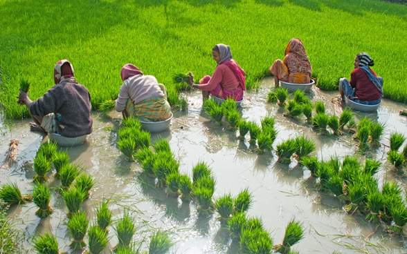 Women plant rice in a wet field.