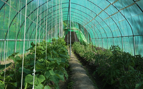 Vegetable greenhouses established by LIPT program for women in Chechka village