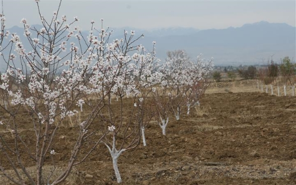 Apricot orchard established in Gurbuz district of Khost