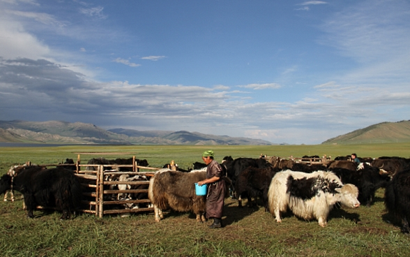 A woman holding a blue bucket tends to a herd of yak in a vast grassland landscape.